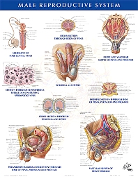 Male Reproductive System Chart