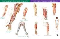 Vascular Supply of Upper Extremity & Vascular Supply of Lower Extremity - 2 Chart Set