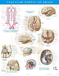 Vascular Supply of the Brain Chart
